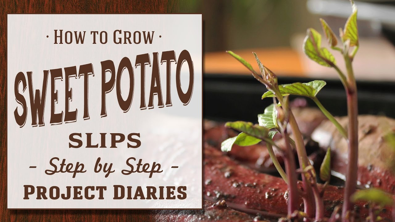 How To  Grow Sweet Potato Slips  A Complete Step By Step