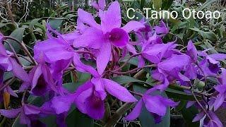 Cattleya Taino Otoao , Hybrid Orchid