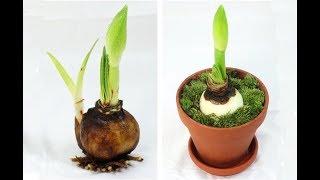 ГИППЕАСТРУМ не цветет | Как заставить цвести ГИППЕАСТРУМ | Исправляем ошибки в уходе