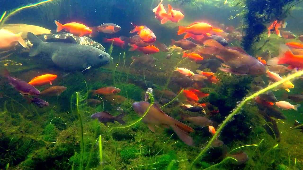 Koi fish pond gopro youtube for Freshwater koi fish