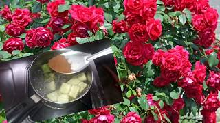 Rose செடியில் நிறைய பூக்கள் பூக்க tips
