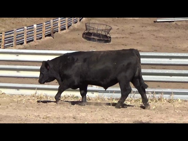 Connealy Angus Lot 52