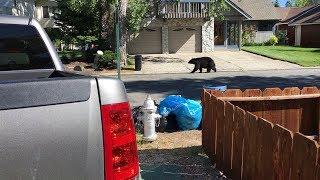 Bear Cruising Through South Lake Tahoe California