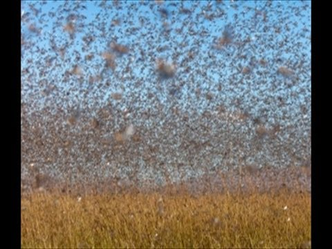 'Biblical' LOCUST Swarm! MADAGASCAR... BILLIONS of INSECTS ... Locusts Swarm Bible
