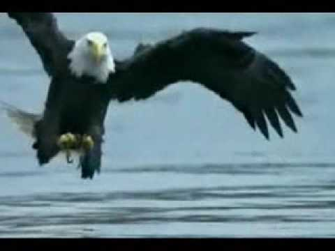 golden eagle fishing american eagle catches salmon fish youtube