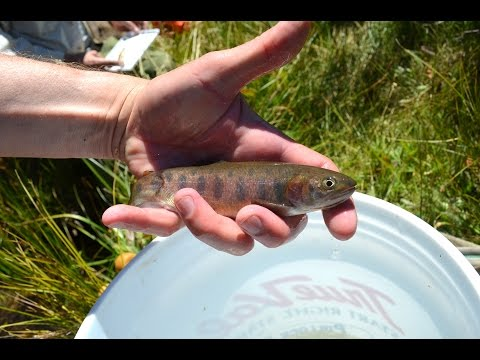 Restoring North America's rarest trout
