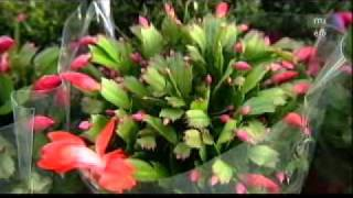 Karácsonyi kaktusz - Megyeri Szabolcs kertész