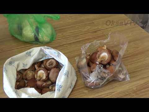выращивание грибов enoki