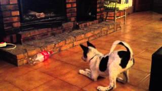 Canaan dog & coke bottle
