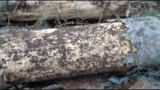 Жук-короед уничтожает сосны в подмосковном Кратово(, 2013-04-21T21:04:57.000Z)