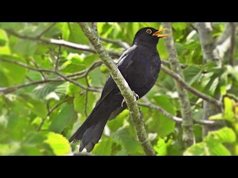 Blackbird Singing in The Garden - Birds Singing