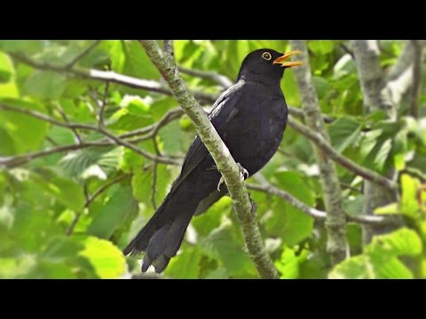 Blackbird Singing in The Garden - Birds Singing