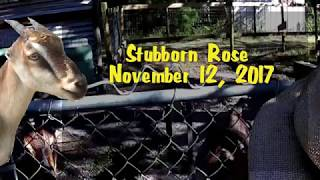 Stubborn Rose - November 12, 2017