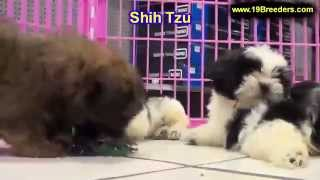 Shih Tzu, Puppies, For, Sale, In, Clifton, New Jersey, Nj, Morris, Passaic, Camden, Union, Ocean, Mo