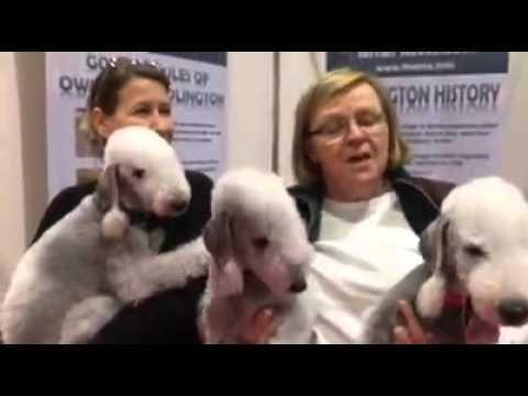 Discover Dogs - Bedlington Terrier