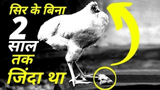 This Chicken Lived For 2 Years Without A Head - सर कटने के 2 साल बाद तक जिन्दा रहा था यह चिकेन