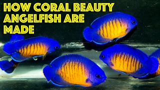 How Coral Beauty Angelfish Are Made