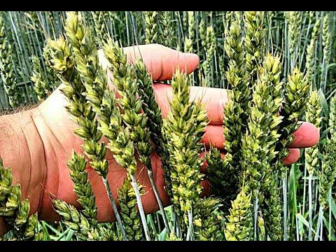 обзор яровой пшеницы 19.07.2018