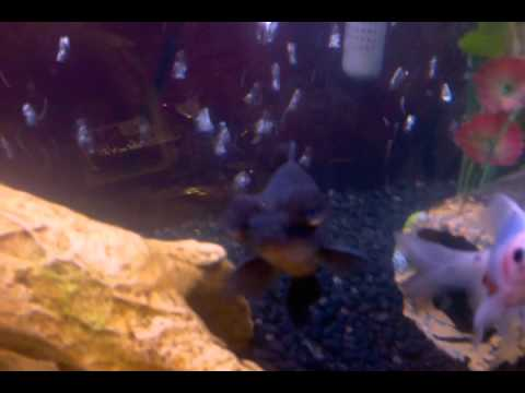Gold fish laying eggs youtube for Black fish eggs