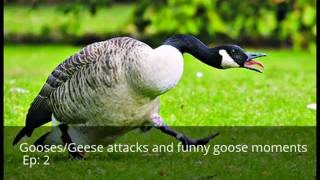 Gooses/Geese attacks and funny goose moments (complation)!! Ep 2