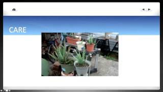 Basic Aloe Vera tips - Grow, Care, Harvest