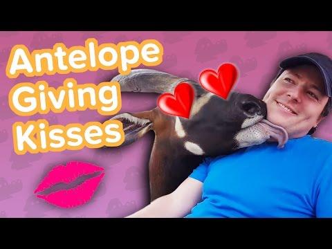 Affectionate Antelopes & Donkey Soccer! // Funny Animal Compilation
