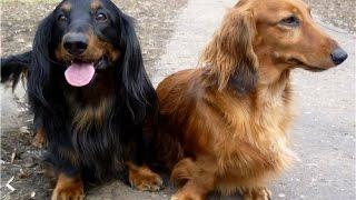 Почему у некоторых собак разным цветом глаза? Гетерохромия??