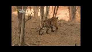 Королева тигров. National Geographic