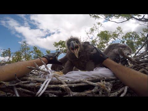Bald Eagle Banding | MassWildlife