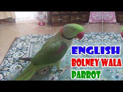 English Bolney Wala Parrot | (URDU/HINDI) Only on PBI
