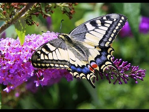 Butterflies and Flowers  1 Hour Nature Meditation with Soothing Music