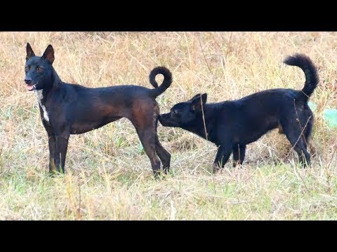 Summer RuralDogs!! German Jack Russell Terrier Vs Anatolian Shepherd Dog in Home Village