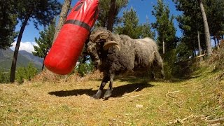 Angry Ram vs punching bag -  5 minute extended version