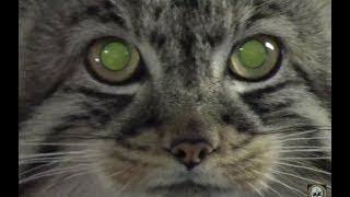 GMO Genetically Engineered Cloned Cats Worth $1 Million Giant Pet Kittens Mutants Hybrids