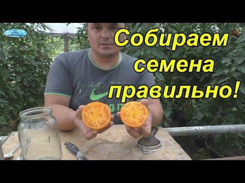 Сбор семян томатов-
