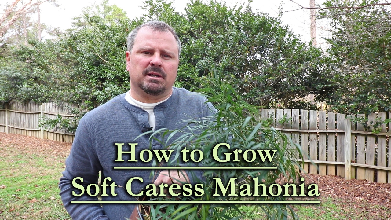 How To Grow Soft Caress Mahonia Evergreen Shade Shrub With Yellow
