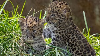 Endangered Amur Leopard Cubs Pounce and Play