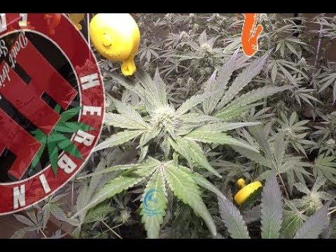 Compost Tea & Organic Medical Cannabis COB LED Cycle 2 No Till 12