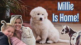 Bringing home our new puppy!  (Great Pyrenees livestock guardian dog)