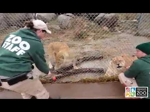 African Lion Training - Omaha's Henry Doorly Zoo and Aquariu