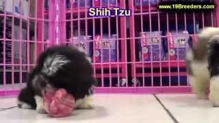 Shih Tzu, Puppies, For, Sale, In, Wichita, Kansas, Ks, Pittsburg, Hays, Liberal, Prairie Village, De