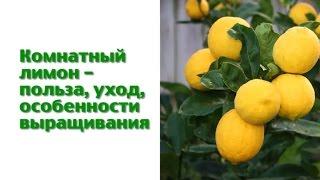 Комнатный лимон ❀ уход ❀ чем удобрять ❀ особенности выращивания(Комнатный лимон уход полив удобрения ❀ Подробнее о комнатных растениях: https://www.youtube.com/playlist?list=PL9gKe3crmaJAyVMkkZCsGved..., 2016-12-10T15:49:45.000Z)