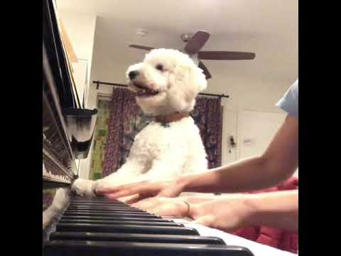 Funny Standard poodle dog playing Mozart on the piano