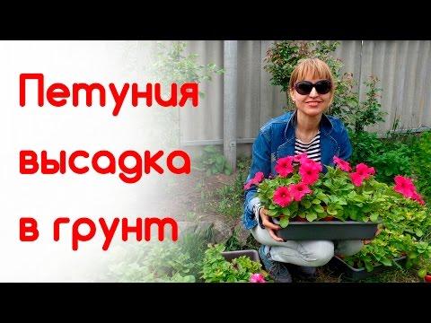 Петуния высадка в открытый грунт. Идеи цветников. Сроки, расстояния | выращивание | башмакова | татьяна | рассада | петуний | петунии | высадка | клумба | почва | дача