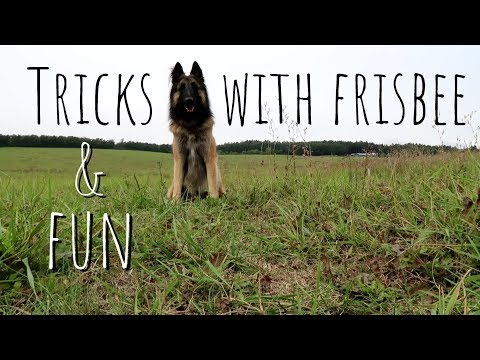Dog does anything for a frisbee! | Belgian Shepherd Tervuren