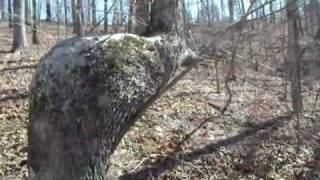 Indian Trail Tree - Along the Chattahoochee River