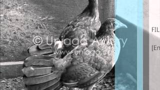 Suara Ayam Hutan Denak Betina Bersih