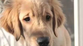 ゴールデンレトリーバーの子犬がやって来た。名前はディロン。うちとし...