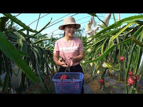 農村母女第一次摘火龍果,紅彤彤很漂亮,卻不知該如何下手?