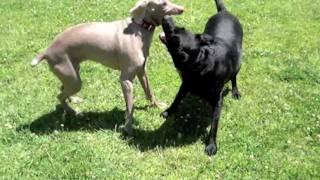 Pipa (labrador) Vs Sacha (weimaraner)